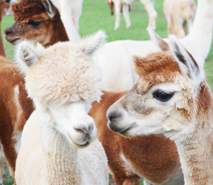 alpacas.JPG
