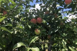 Apple picking NJ