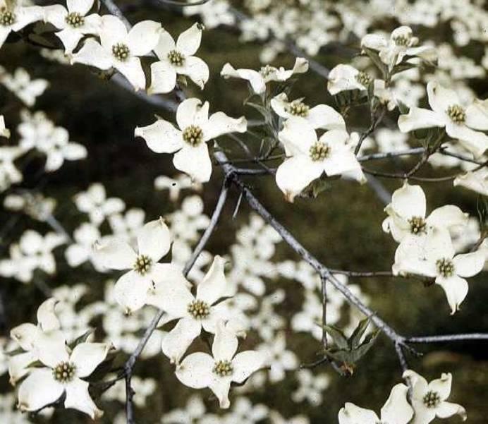 Arbor Day Flowering Dogwood (credit USDA).jpg