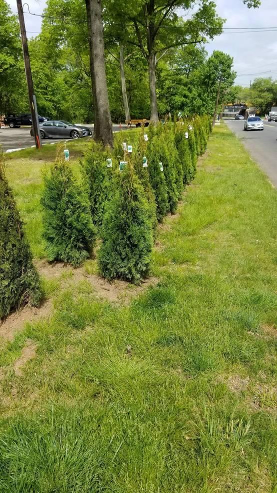 arborvitae trees.jpg