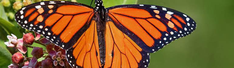 b2c1b7802b7a7bc3b844a5031a1de180_Janet Markman Monarch on Milkweed at Hilltop Reservation.jpg