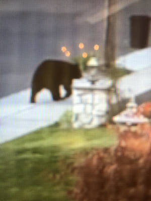 Bear Spotted in Kenilworth Friday