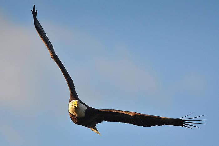 Bald Eagle by Don Freiday USFWS.jpg