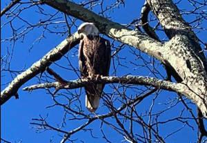bald eagle westfield