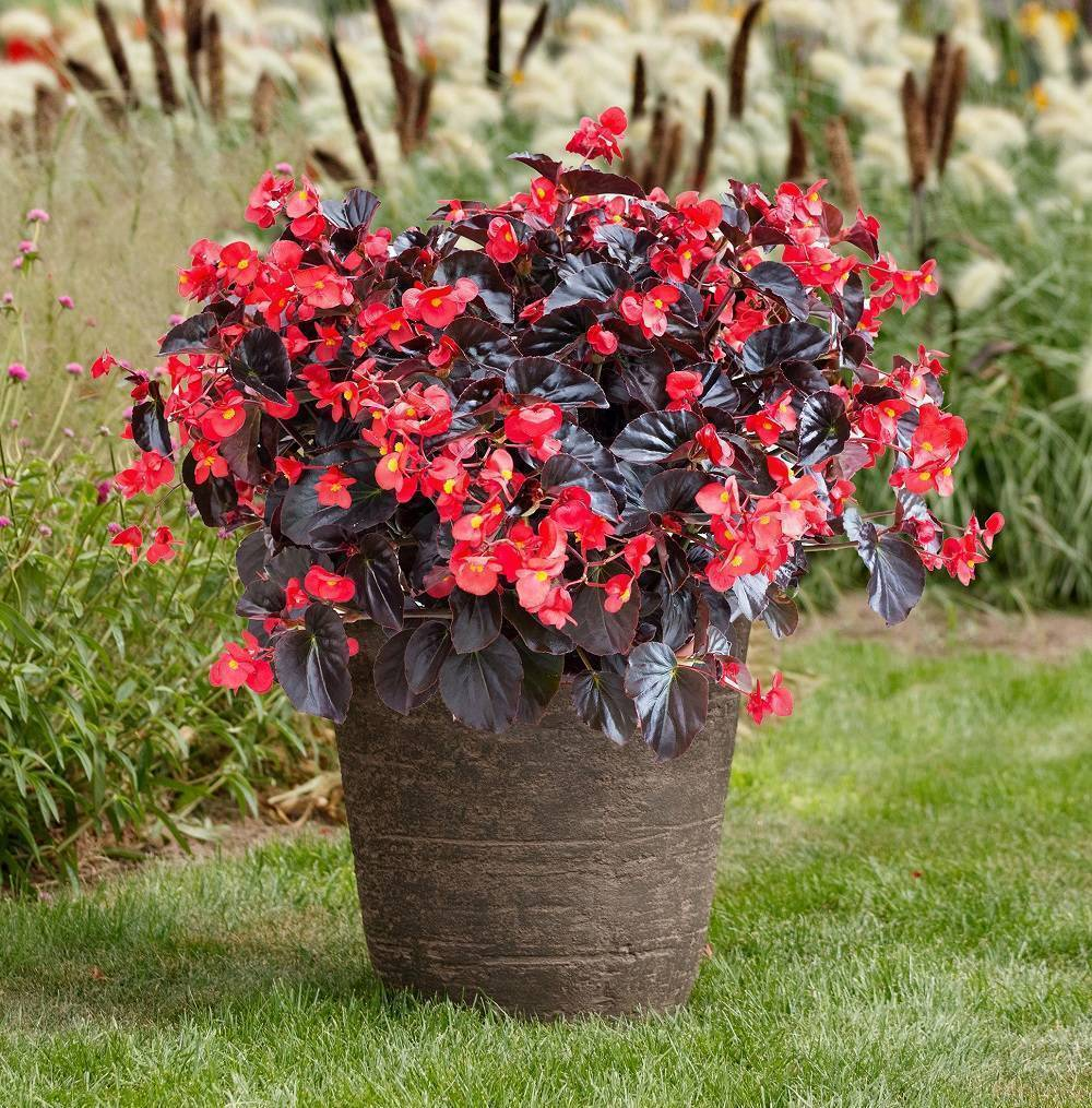 Begonia Viking XL Red on Chocolate is a striking plant great for container gardens. Its large vibrant red flowers are contrasted with chocolate brown leaves.