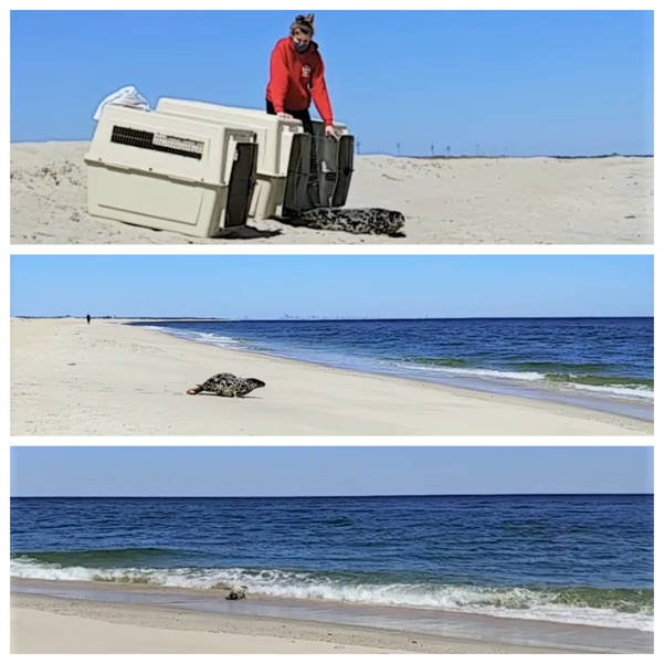 VIDEO: Gray Seal Pup from Belmar Released Back to Ocean After Two-Month Recovery