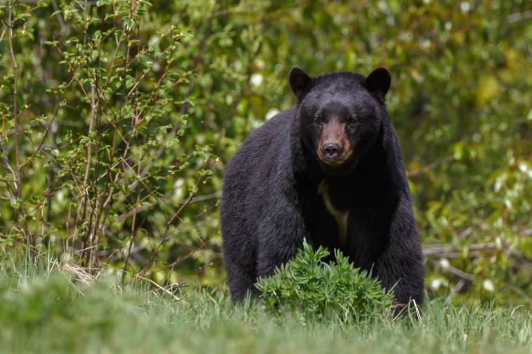 Young Bear Spotted Wandering Near Beechwood School in Mountainside