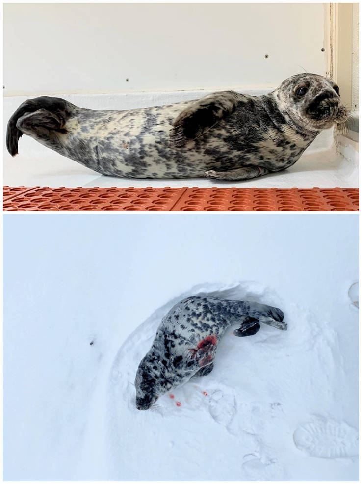 Injured Seal Pup Found on Snowy Belmar Beach, Now Off to Speedy Recovery