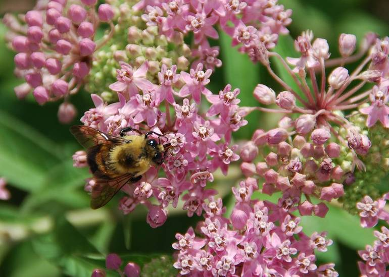 Bee on Swamp Milkweed