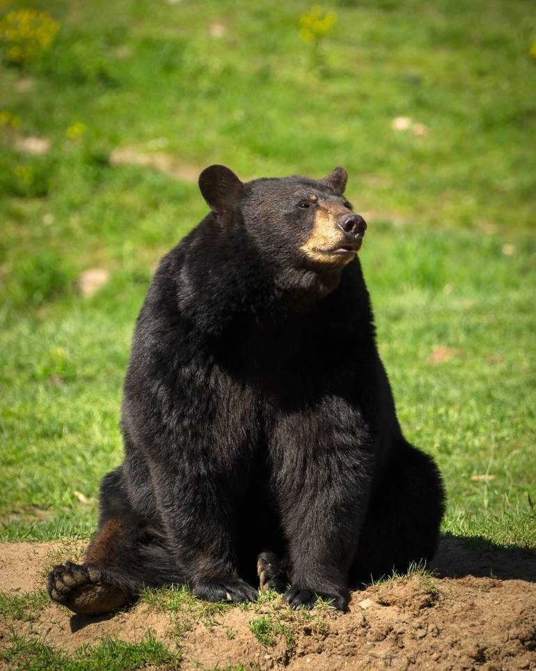 Mama Bear in Parsippany Spotted Near Her Cubs Stuck in Dumpster