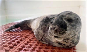 Marine Mammal Stranding Center Warns Beachgoers to Keep Safe Distance from Seals.