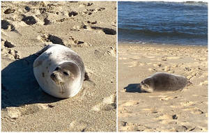 VIDEO: Young Harp Seal Makes Brief Visit to Sunny Belmar Beachfront