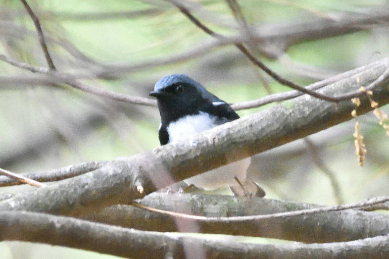 Black-throated Blue Warbler.jpg