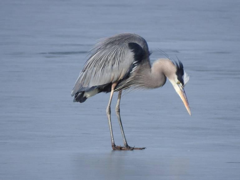 blue heron (3).jpg