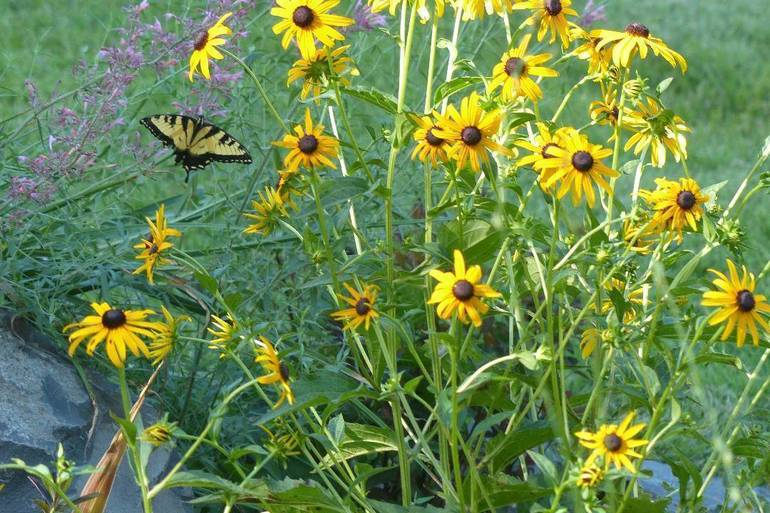 Black-eyed Susans with Agastache
