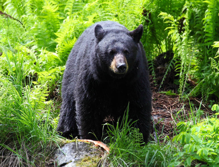 Black Bear Sightings: What Denville Residents Should Know