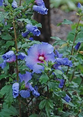 Carousel image 4aad0117805e6ee6f27f 9487b4b58dfa373a8236 2d1524ca0279610a8852 blue satin rose of sharon