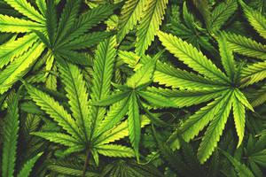 Marijuana Edibles, cannabis business, little falls nj