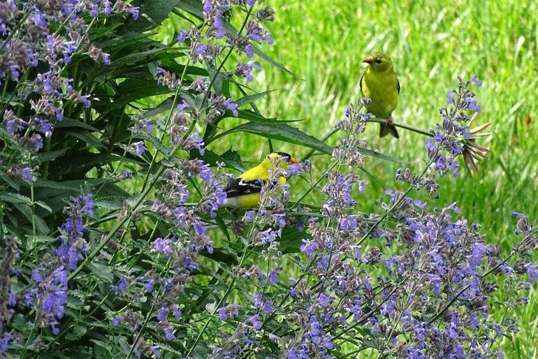 Catmint with Goldfinch