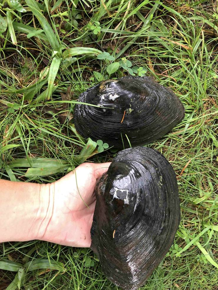 Chinese pond mussels.jpg