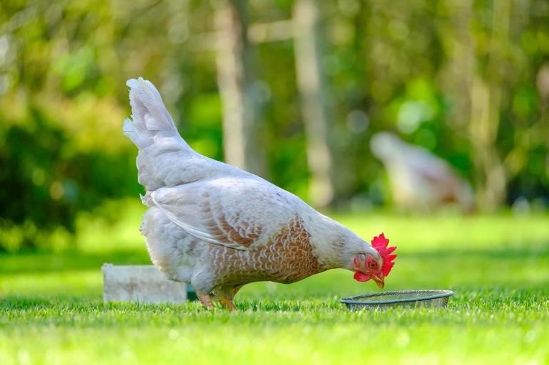 Westfield Chickens