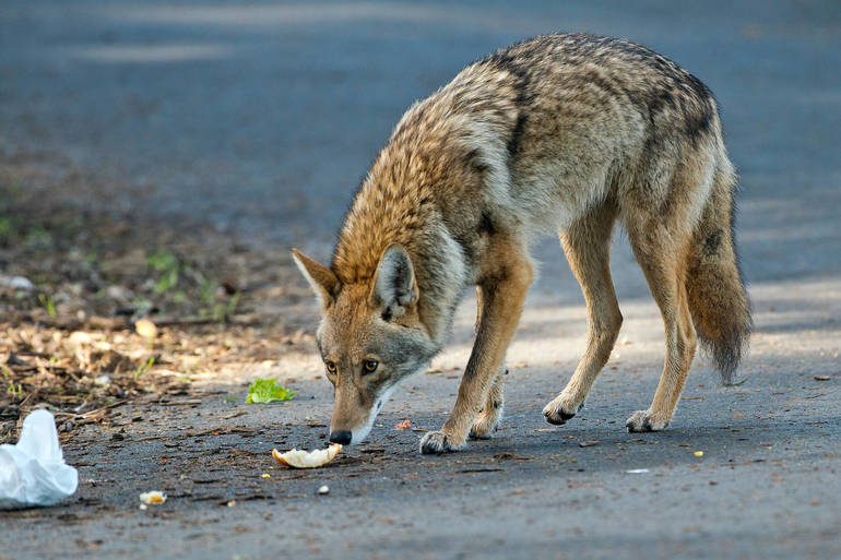 Coyote Bites Man Near Rutgers Campus