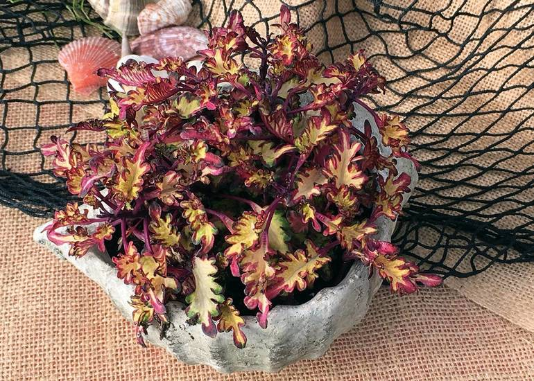 Coleus indoor and outdoor container plant