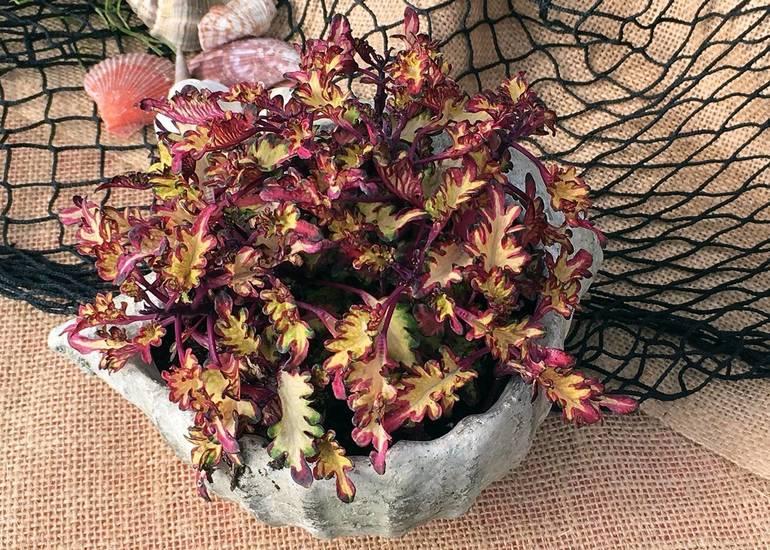 Coleus indoor and outdoor container plant
