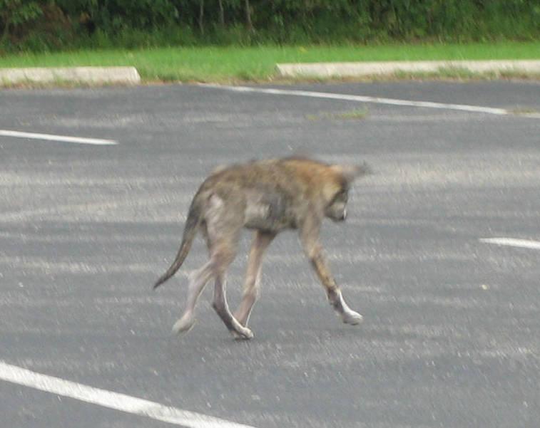 coyote_mange-viaNJDEP.jpg