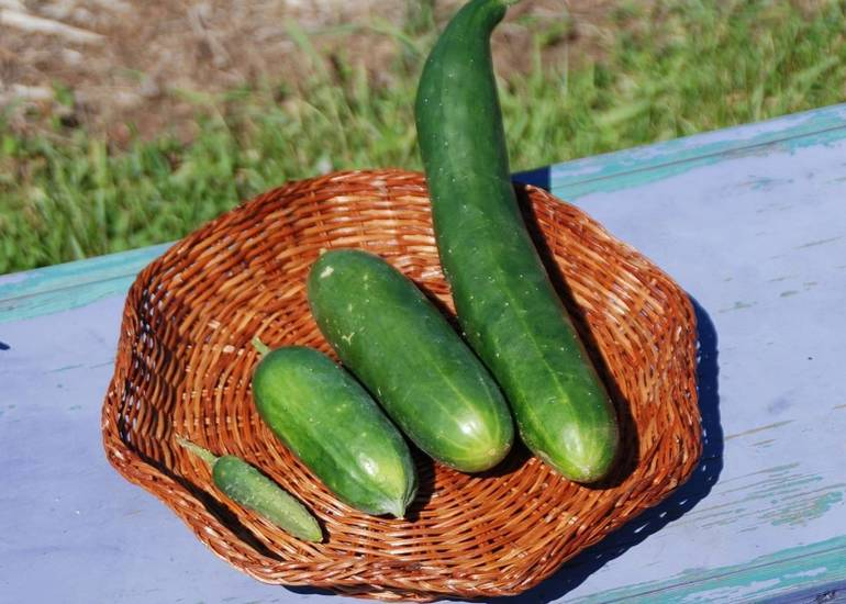 Harvest Cucumbers for Slicing and Pickling