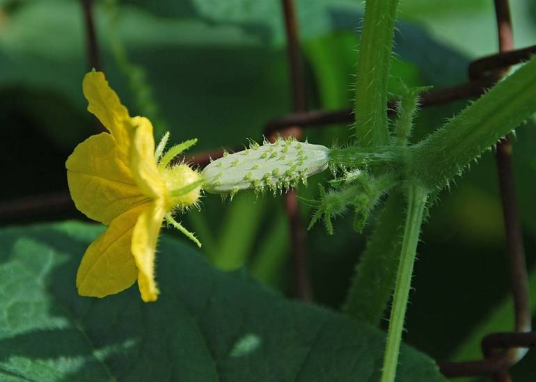 Cool and Refreshing – Cucumbers from Your Nutley Garden