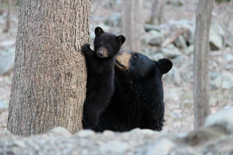 What Do You Think of the New Jersey Bear Hunt?