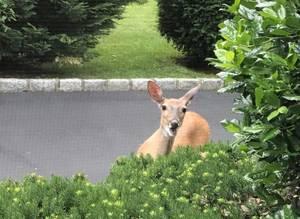 deer in westfield nj