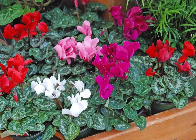 Brighten Your Spirits And Indoor Decor With A Colorful Cyclamen
