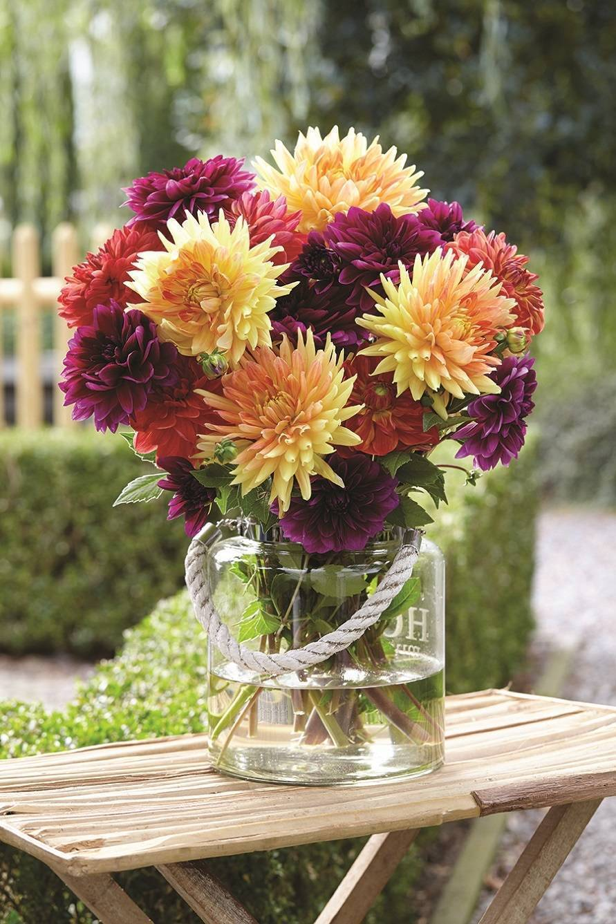 The Sugar Plum Mix of dahlias offers hues of honey gold, burnt orange and violet-mauve, providing a colorful, contemporary blend of dahlias late summer