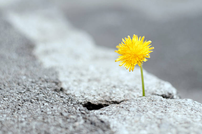 Dandelion on Asphalt Road, persistence