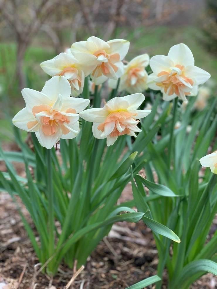 Daffodil Delnashaugh