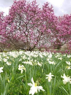 Don't Miss the Amazing Display of Daffodils at Colonial Park Gardens