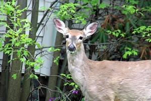 Deer in Somerset County Succumb to EHD Virus; No Threat to Humans, Pets