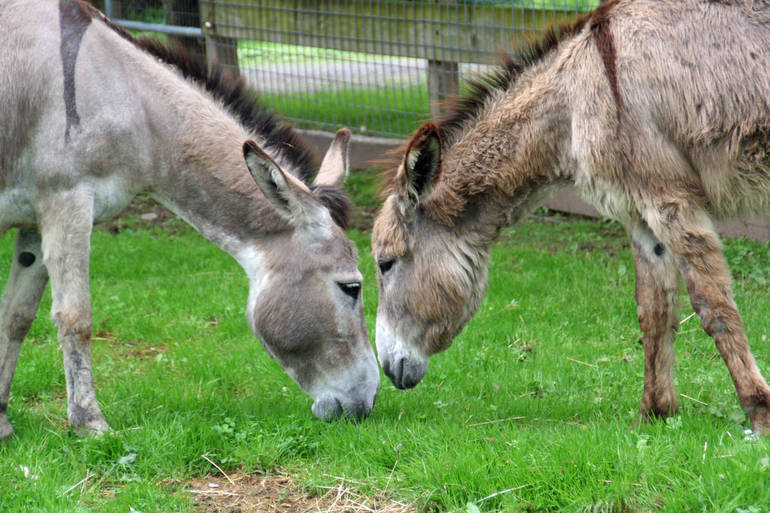 Still Waiting....Edith The Donkey Keeps Everybody Guessing When The Stork To Arrive