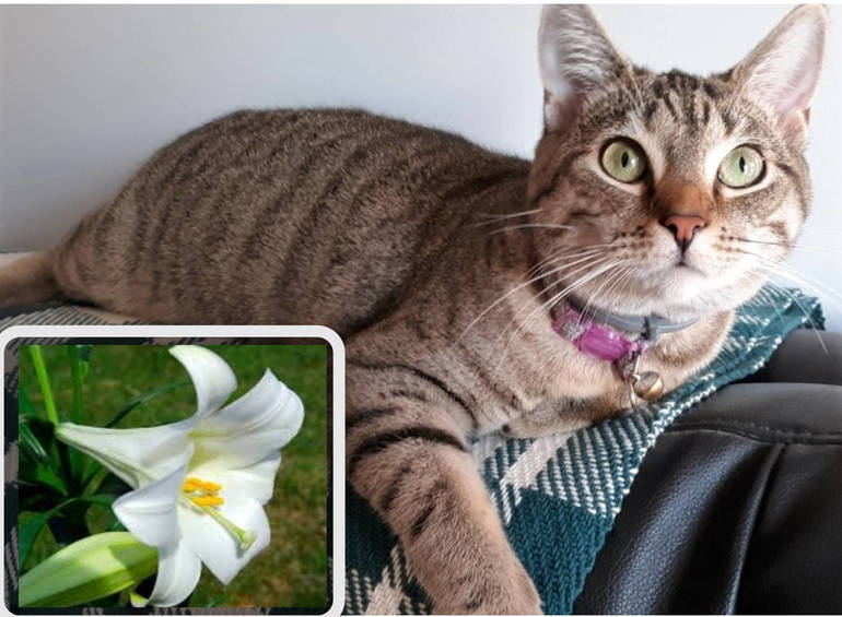 Easter Lilies are Lovely, but Lethal to Cats