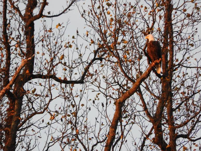 Eagle pic 2 11-5-19.jpg