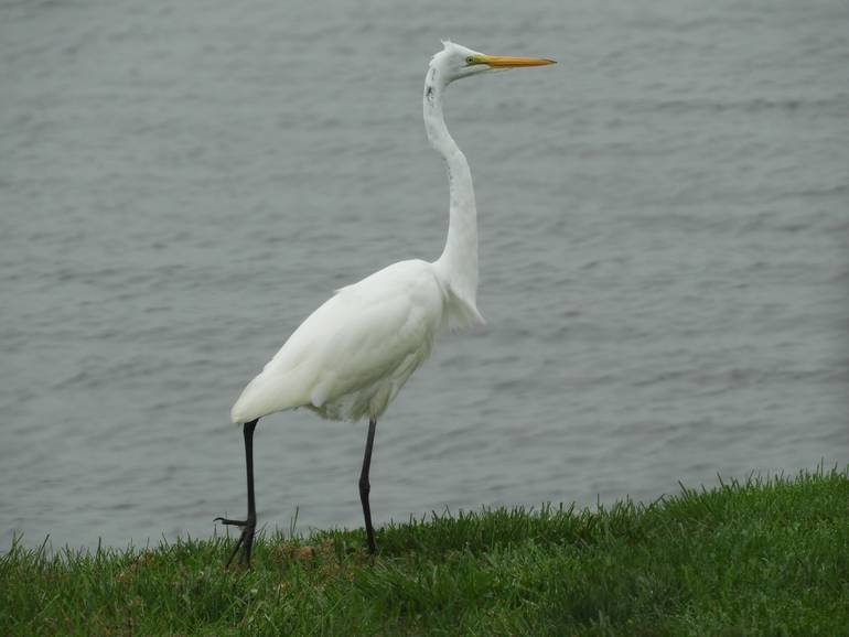 Egret on grass.jpg