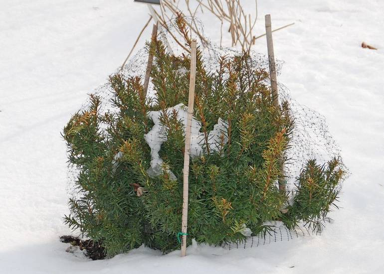 Plant Protection for Yew