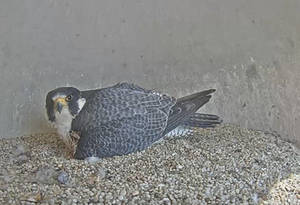 Endangered Peregrine Falcons Welcome a New Arrival in Union County