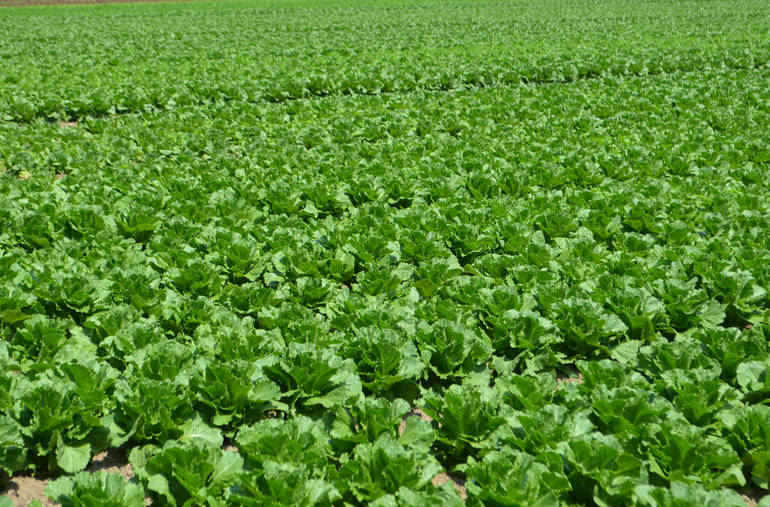 File photo of romaine lettuce field during the summer of 2018 NJ Dept. of Agriculture.jpg