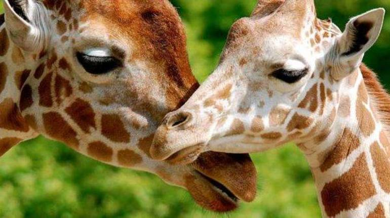 Giraffe photo.jpg