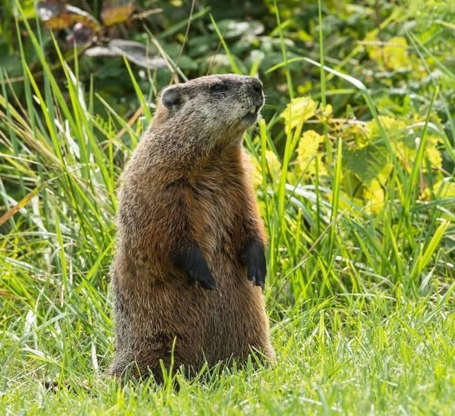 Groundhog poem