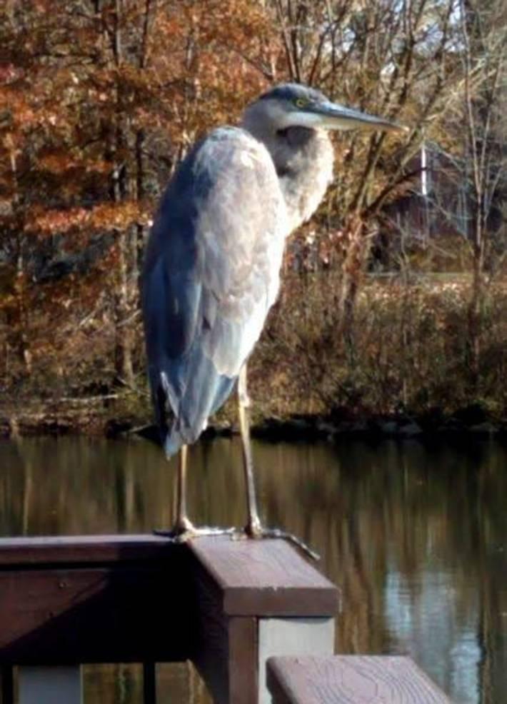 Great Blue Heron - Warinanco Park.jpg