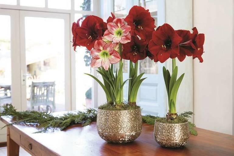 Amaryllis bulbs, like this Grand Amaryllis Trio, produce showy blooms that can last up to a month or more.